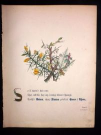 Giraud Flowers of Shakespeare 1846 HC Botanical. Furze & Gorse. Tempest